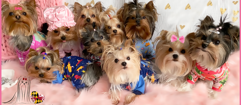 Welcome to Mighty Yorkies of MD