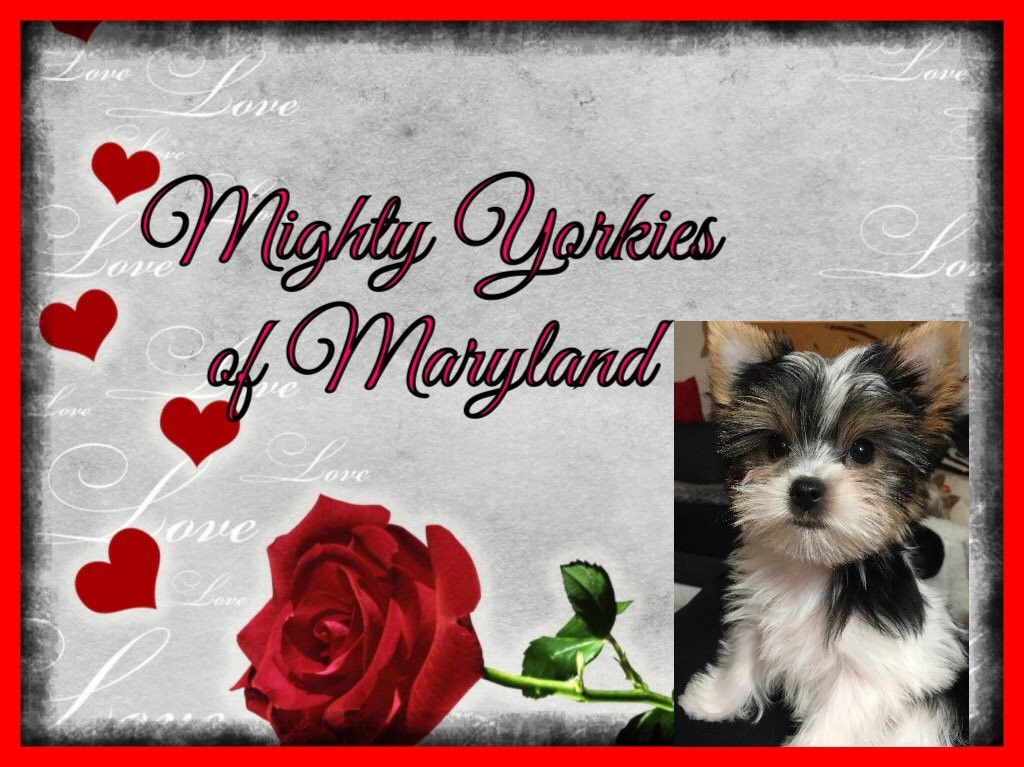 Yorkshire Terrier, teacup yorkie for sale, Yorkies for sale in MD