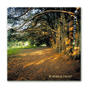 Yew-Trees, Co.Carlow, Ireland