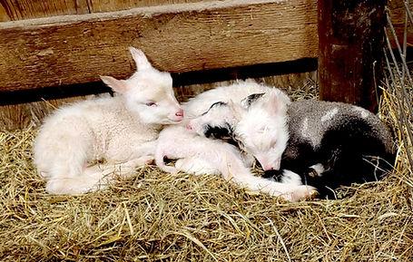 lamb knot.jpg