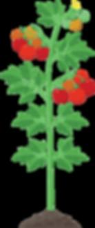 pomodoro pianta all tras.png