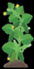 pianta cocomero trasp.png