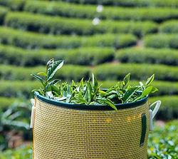 Thé vietnamien vert, Thé vert vietnamien, Thé du Vietnam, thé vert du Vietnam, thé vietnamien