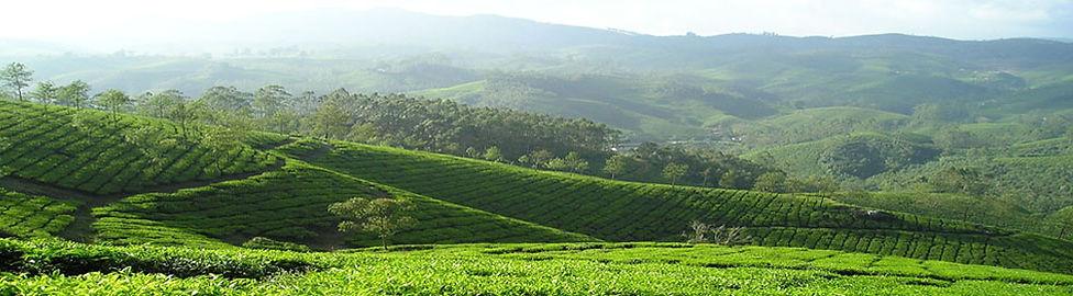 Thé vietnamien d'exception, thé du Vietnam