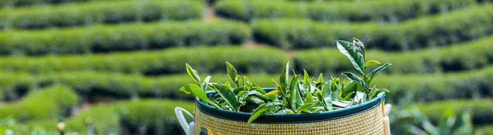 Thé vert vietnamien, Thé vert du Vietnam, Le Comptoir du Vietnam