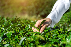 woman-picking-tea-leaves-by-hand-green-t