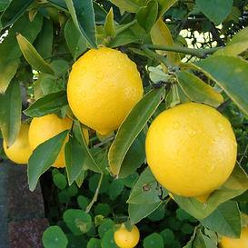 Limon Zagara Bianca.jpg