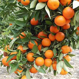 tuplu-asili-fukumoto-portakal-fidani-mey