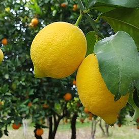 Limon Enterdonat.jpg