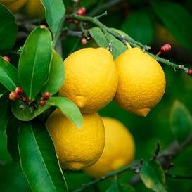 Limon Kütdiken.jpeg