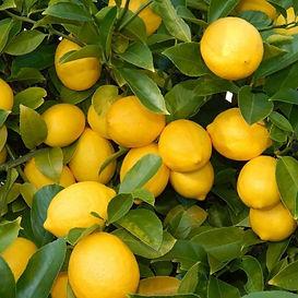 Limon Yediveren.jpg