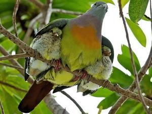 Un pigeon et ses petits