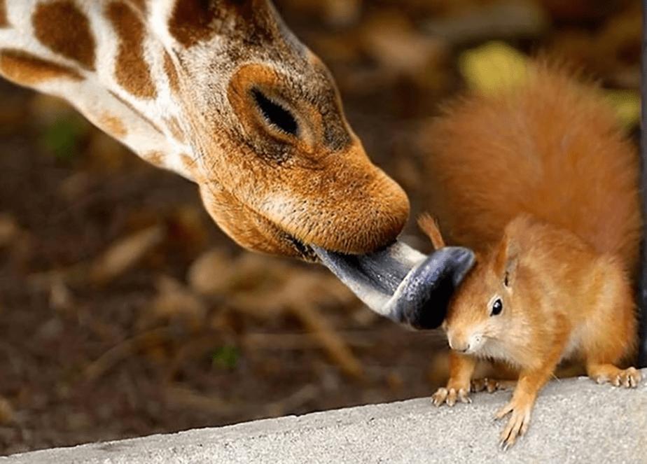 Une girafe qui embrasse un écureuil