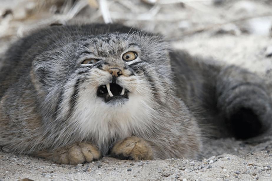Un chat sauvage faisant la grimace