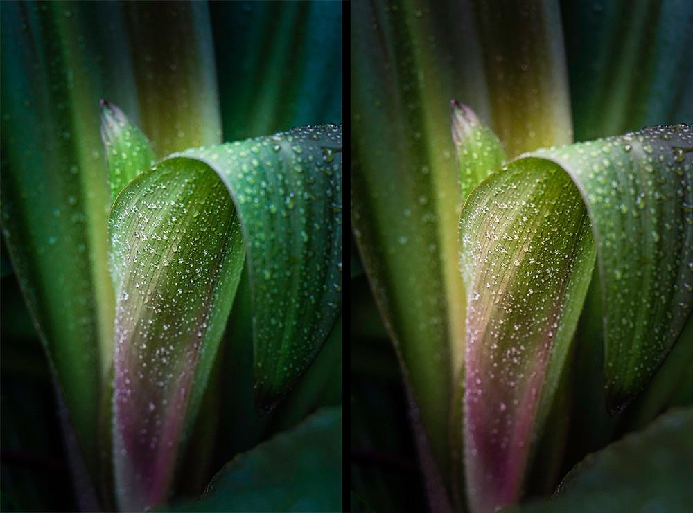 Zwei Ansichten eines Fotos einer Pflanze  in zwei verschiedenen Stadien der Bildbearbeitung