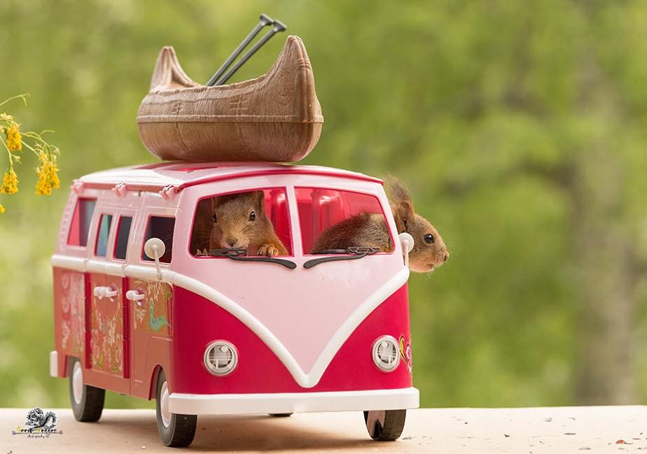 cute squirrels in a car by wix photographer geert weggen