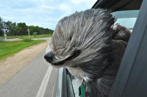 Un chien dans une voiture au vent