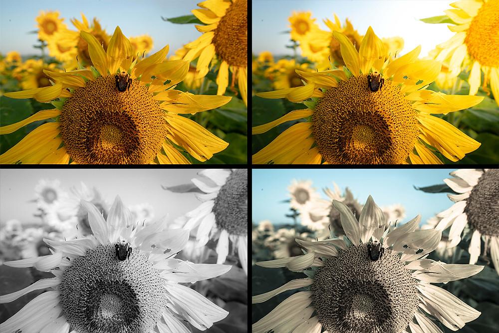 Vier Ansichten eines Fotos von Sonnenblumen mit verschiedenen Filtern