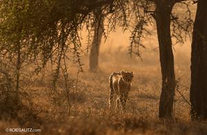 Leopard by Roie Galitz