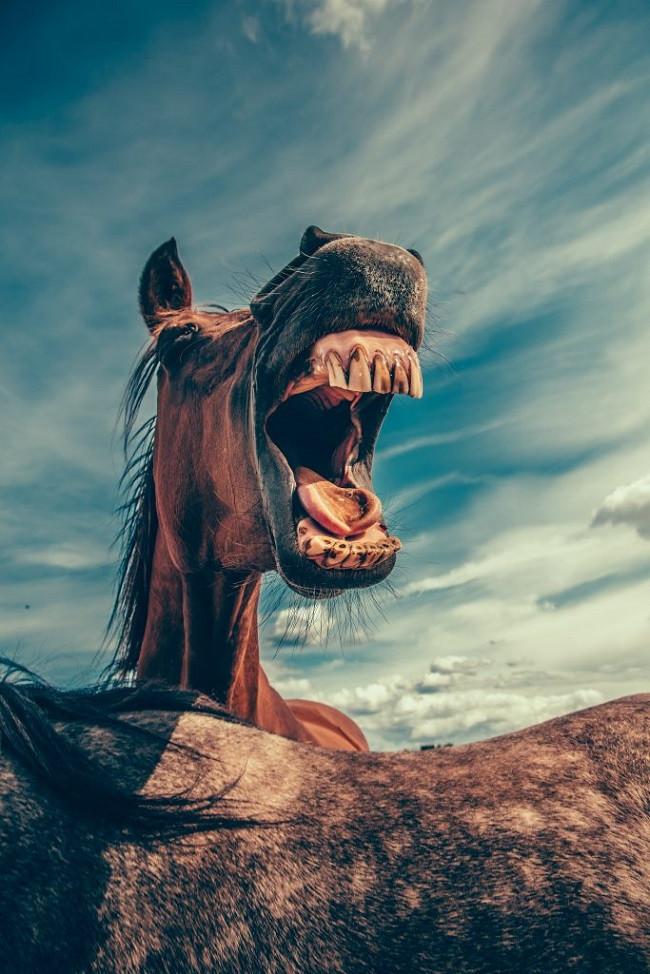 dents de cheval