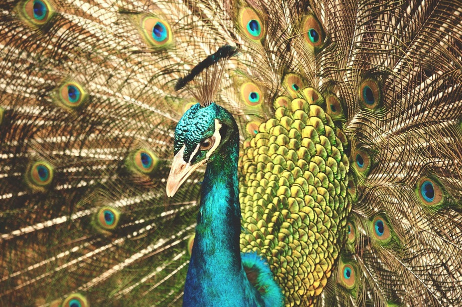 nature photography close up of a peacock by wix photographer rosie litterick