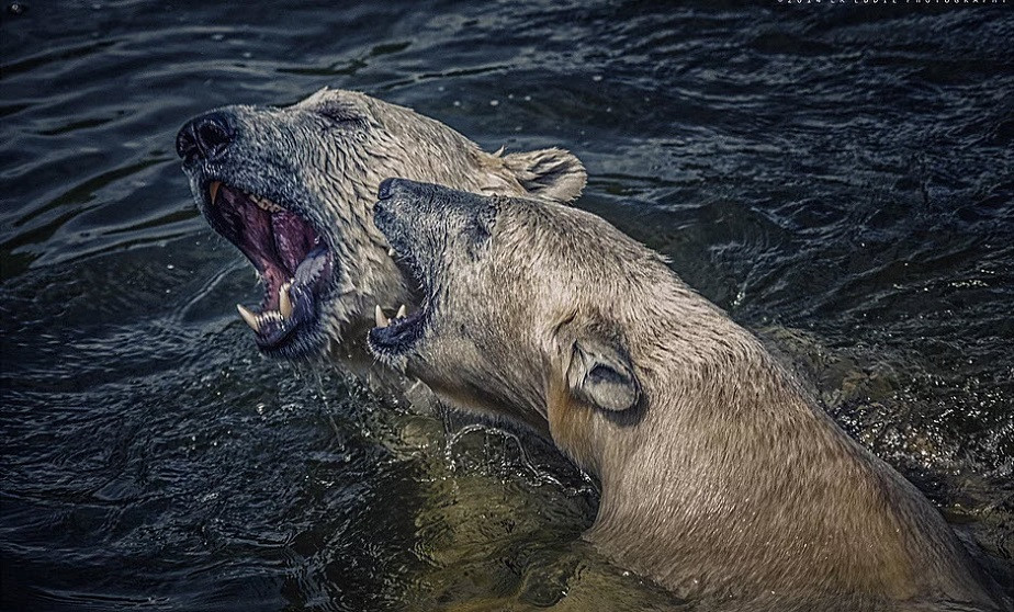 nature photography of two beards fighting in the water by wix photographer northern world