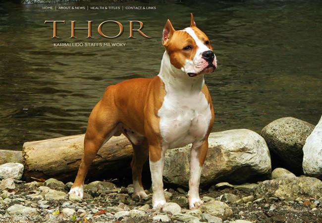 Питомник амстаффов Thor