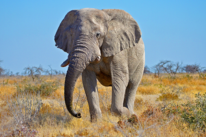 elephant walking on dry field