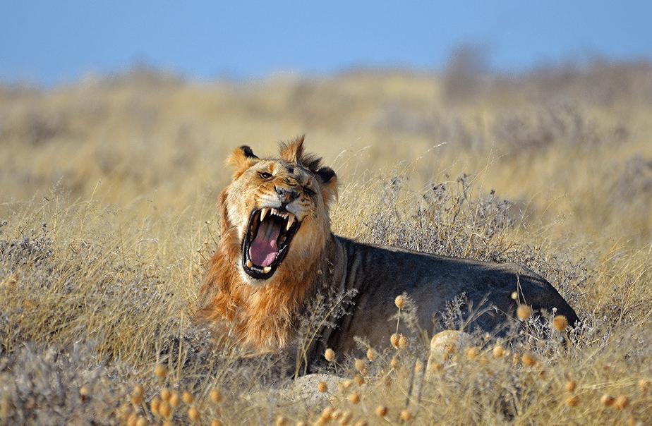 lion roaring on dry field