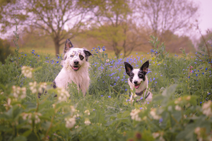 two cute dogs sitting on a field full of flowers