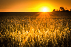 sunset over corn field