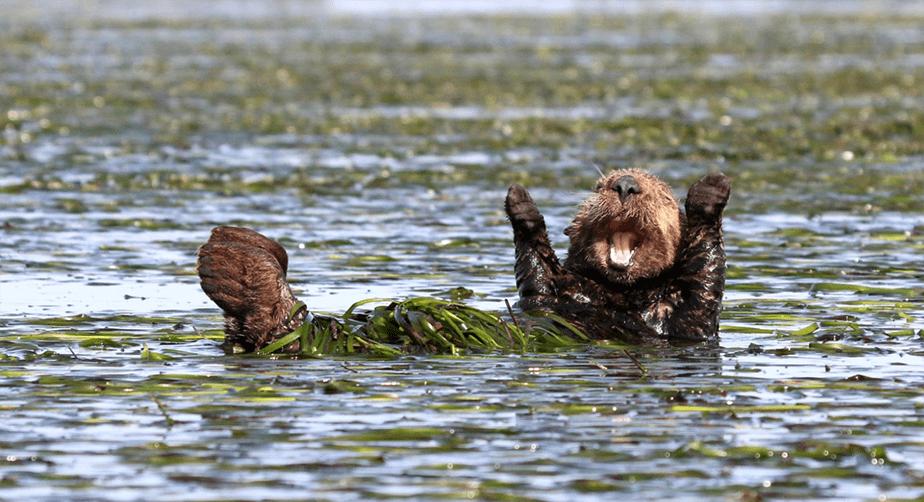 Un castor dans l'eau