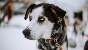 blue eyed sled dog portrait