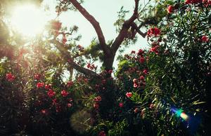 sunshine passes through a green tree full of flowers