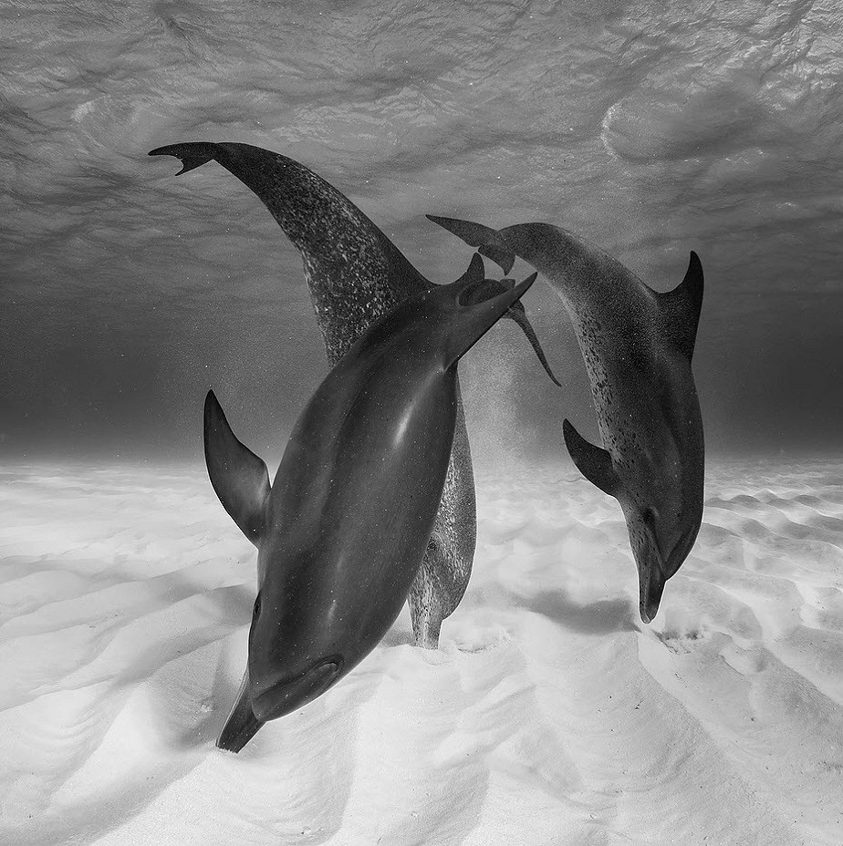 black and white picture of dolphins searching food in the sand by wix photographer eugene kitsios
