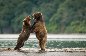 Two bears fighting by Roie Galitz