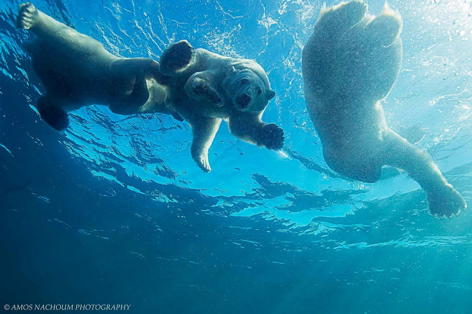 white bears playing in the water by wix photographer amos nachoum