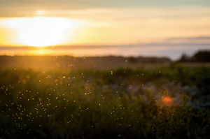 bugs flying over field at sunset