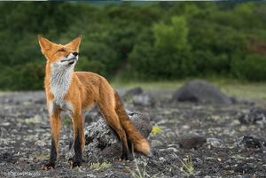Antarctic Fox By Roie Galitz