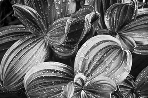 black and white - drops on leaves