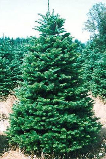 Noble Fir 6-7 ft.