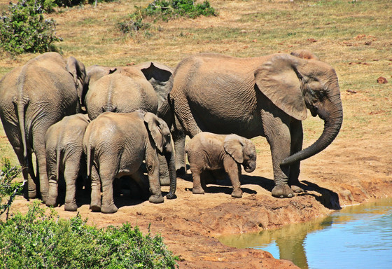 The Elephant Stampede