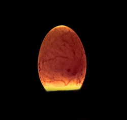Fertile egg candled with an FRD-10