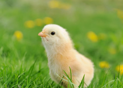 Egg Candlers