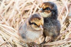 Hatching Fertile Eggs