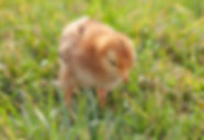 Chick hatched using a Janoel Model 12 egg incubator