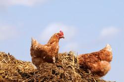 Poultry Australia Newsletter