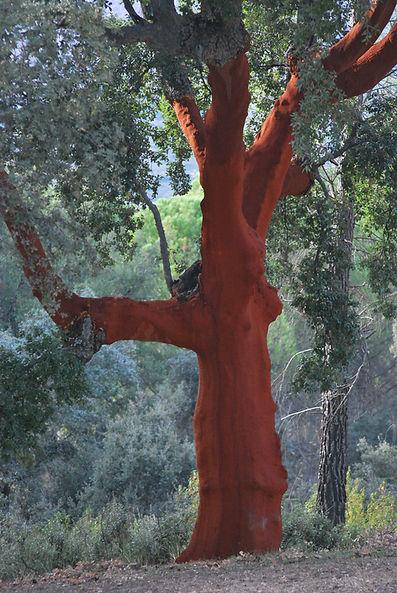 cork-oak-2941494.jpg