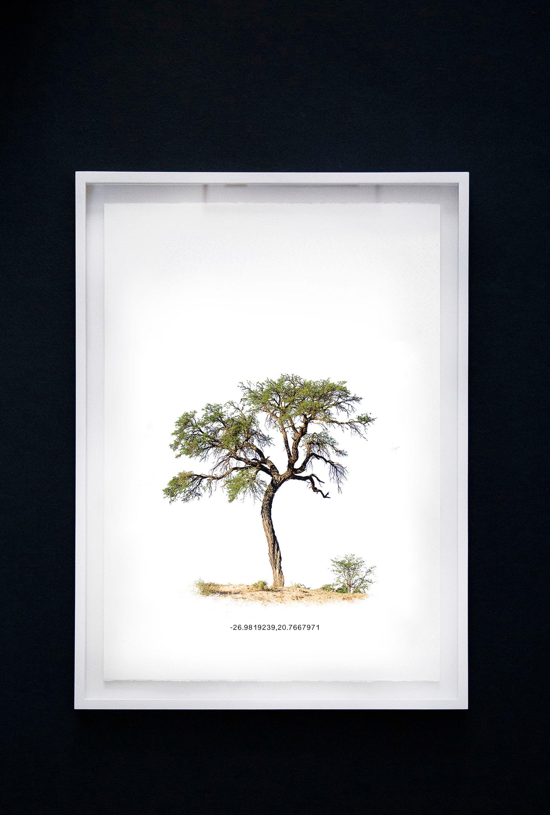 Kameeldoringboom 3