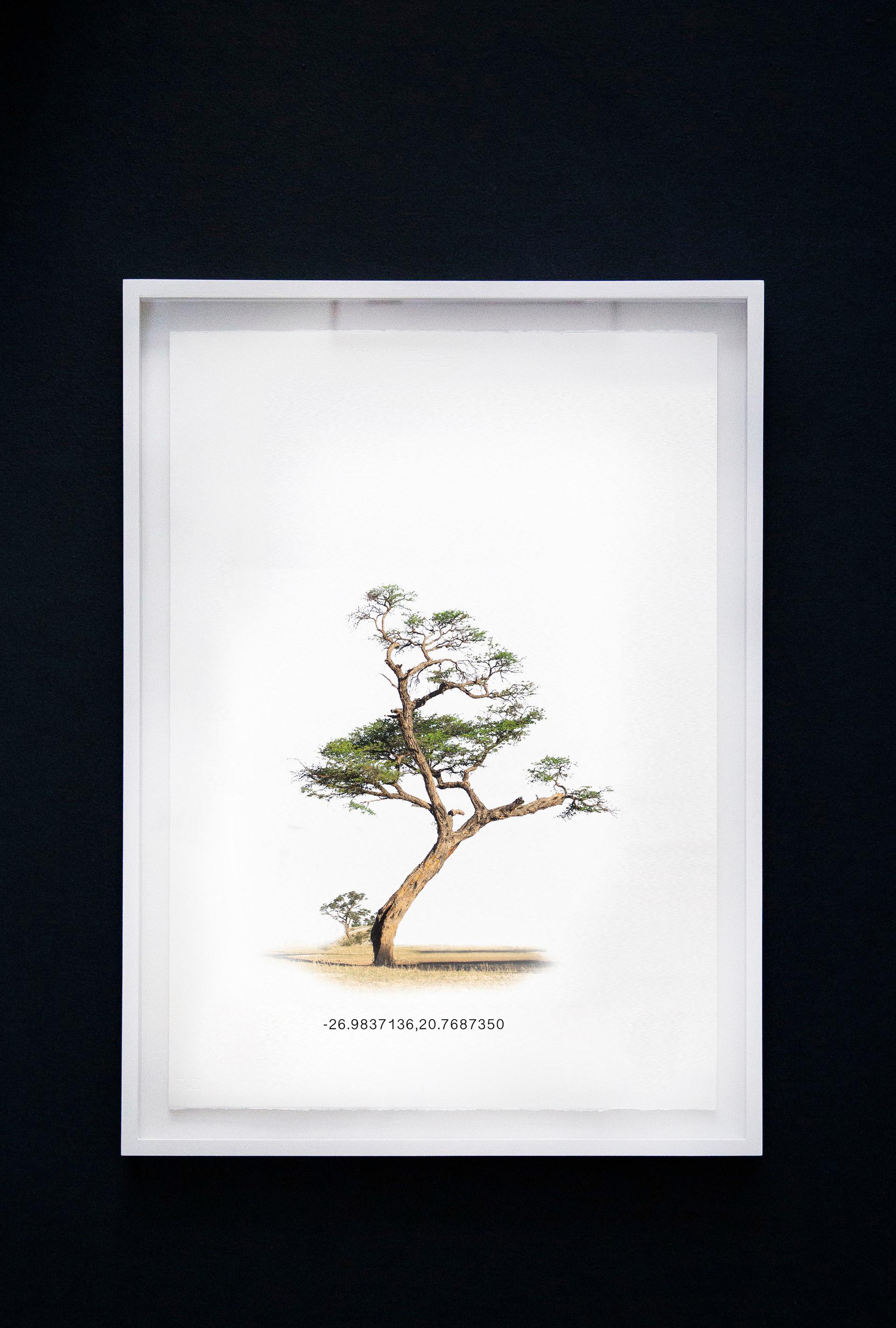 Kameeldoringboom 1